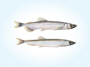 Capelin Fish | Capelin Isseafood