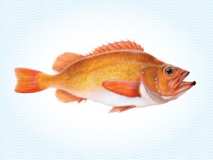 redfish-ocean-perch