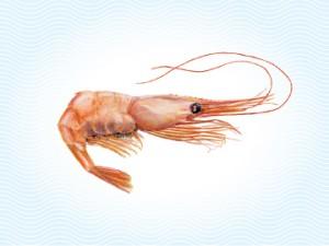 shrimp-prawn